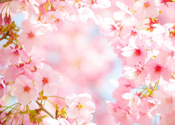 Free pictures cherry blossoms